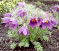 flor-da-páscoa
