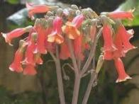 flor-da-abissínia