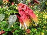 flor-camarão