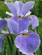 flor-de-lis-da-sibéria