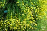 flor-dos-tintureiros