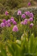 flor-dos-rapazinhos