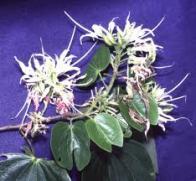 flor-do-japão