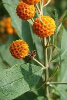 flor-de-mel
