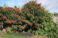 flor-de-santo-antonio