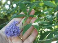 flor-da-castidade