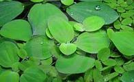flor-d'água