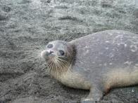 foca-do-mar-cáspio