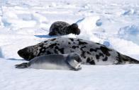 foca-de-capuz