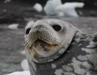 foca-de-weddell