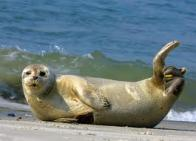 foca-comum