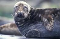 foca-cinzenta