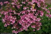 flor-de-duas-esporas