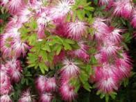 flor-do-céu