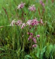 flor-de-cuco