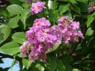 flor-da-rainha