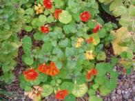 flor-de-sangue