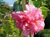 flor-de-sapato