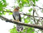 falc�o-cabur�
