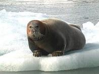 foca-barbuda