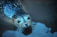 foca-de-crista