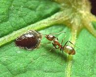 formiga-caçadora