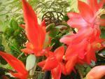 flor-de-natal