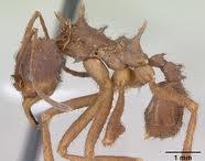 formiga-caiapó