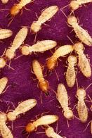 formiga-branca