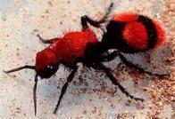 formiga-vespa