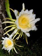 Imagem de flor-da-lua