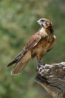 Imagem de falcão-marrom
