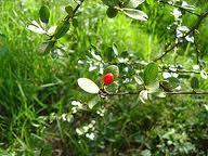 fruta-de-faraó