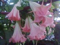 flor-do-diabo