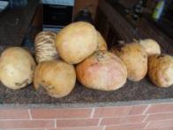 fruta-da-condessa
