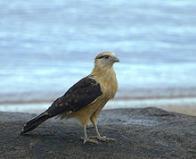gavião-carrapateiro