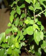 guaticuruzú