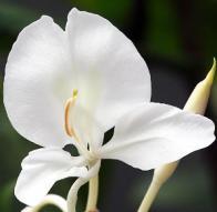 gengibre-branco