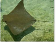 gavião-do-mar