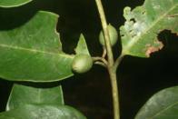 guajaraí