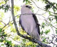 gavi�o-pombo-grande