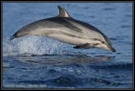 golfinho-estriado