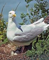 Imagem de gaivota-prateada-americana