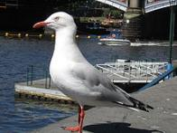 Imagem de gaivota-prata