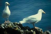 Imagem de gaivota-hiperbórea