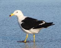Imagem de gaivota-de-rabo-preto