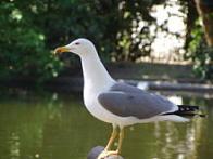 Imagem de gaivota-de-patas-amarelas