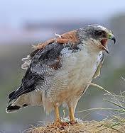 Imagem de gavião-de-dorso-vermelho