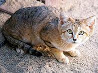 Imagem de gato-do-deserto