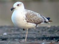 Imagem de gaivota-da-armênia